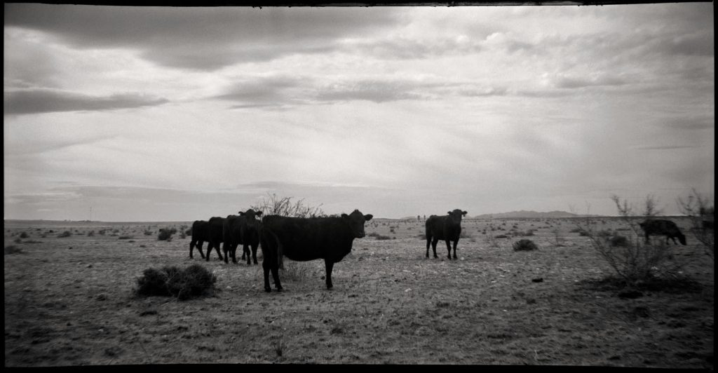 Panorama of cows made with an Agfa Chief Film Camera