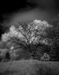 infrared photograph of a tree infront of clouds