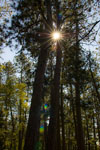 sun shining through red pines at scenic state park in minnesota
