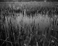 pinhole photograph of cattails at dusk